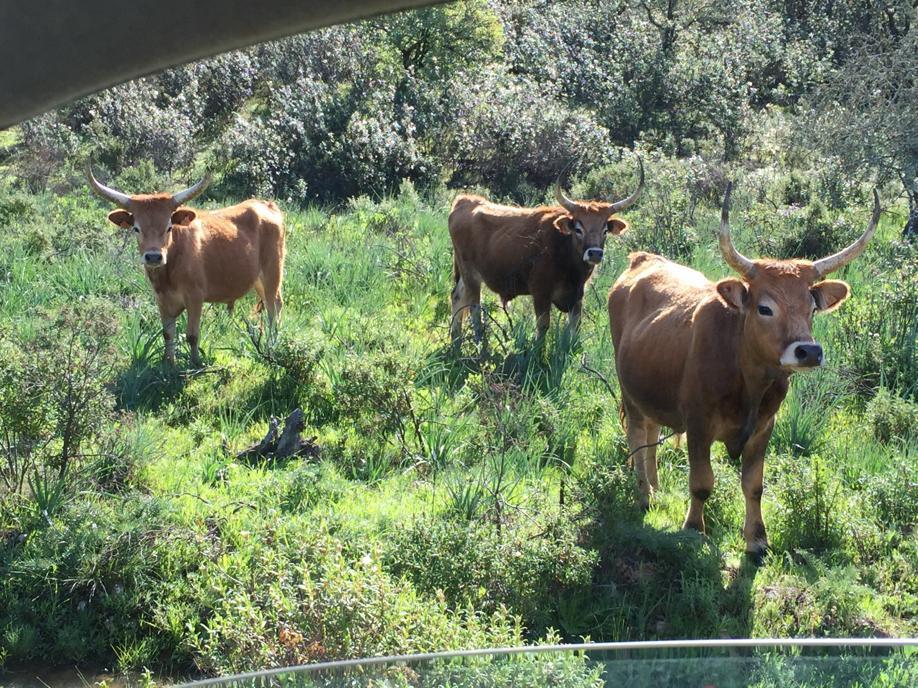 finca-vacas-de-la-raya-buey